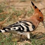 The unusual-looking hoopoe