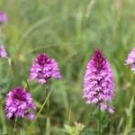Pyramidal orchids are a common sight